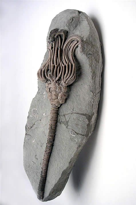 Crinoid fossil... Is it pathetic that I knew what this was before I read it? Stupid Earth Science.