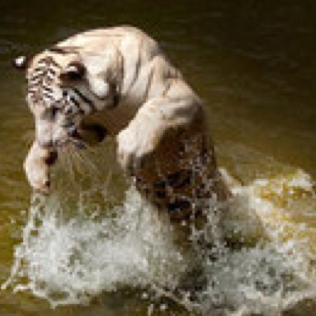 Tiger in action by HenryTrust
