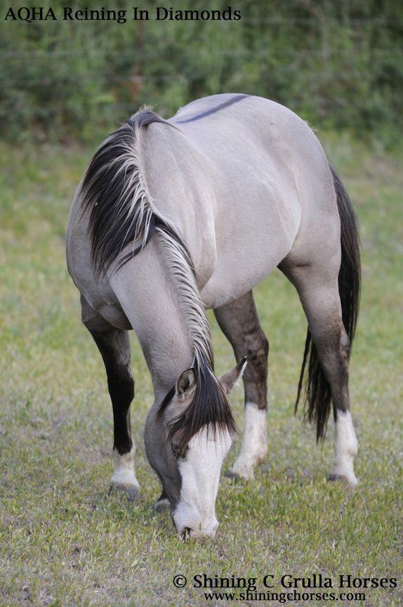 Beautiful color. AQHA Broodmares - Shining C Grulla Horses