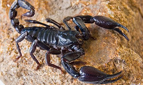 Scorpion attacks are relatively rare in Tuscany