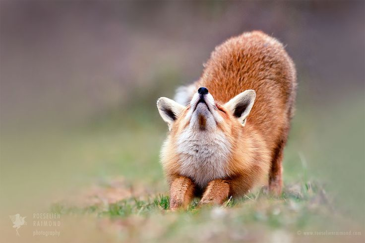 """Downward Fox - <a href=""""http://www.roeselienraimond.com"""">Roeselienraimond.com</a> 