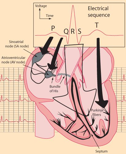 Ah, so this visually helps me with the concept of PQRST in the heart (...not the mnemonic for Pain Assessment lol)