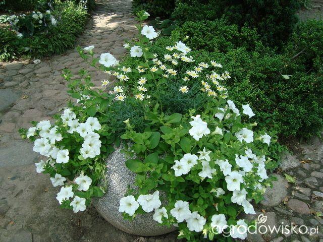 Letnie skrzynki balkonowe i donice - strona 3 - Forum ogrodnicze - Ogrodowisko