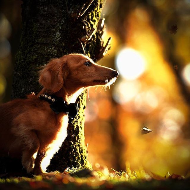 #instadog#dogs#dog#doglover#lovedogs #west_dog_japan#dogstagram#dogsofinstagram #doggy#dogphotography#bestwoof#dogoftheday #dachshund#kaninchen#bestphotogram_dogs #cutedog#a_dogsworld#dogs_of_Instagram #dog_features#petstagram#dogslife#dogumented #癒しわんこ#わんこ#愛犬#犬#犬バカ部#短足部 #ダックス