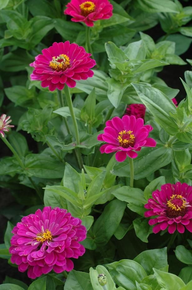 13 Can't-Kill Flowers for Beginners this one is   Zinnia 'Purple Prince' (Zinnia elegans)