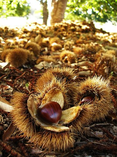 Autumn Chestnut Harvest