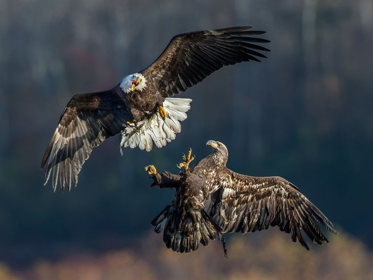 Picture of an adult & juvenile bald eagle fighting over a fish.