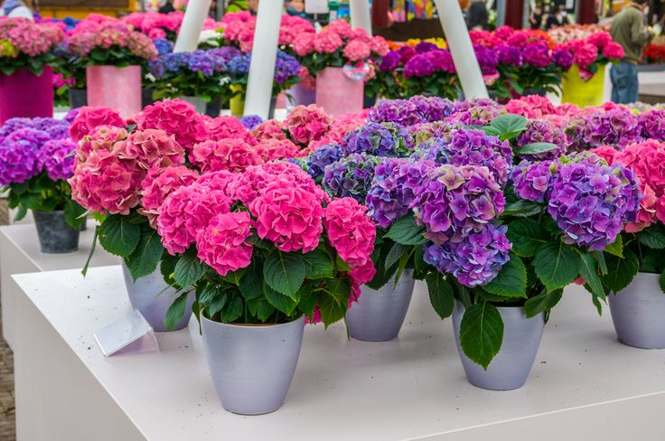 Ortensia: come si coltiva in vaso o in giardino. Una pianta scenografica, dai colori accesi