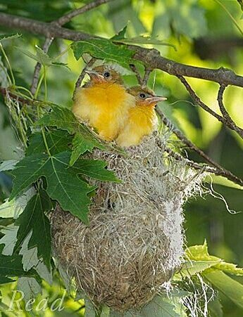 2 yellow birds in a nest.