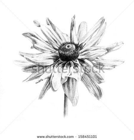 black eyed susan tattoo designs   black-eyed Susan flower drawing illustration organic clean and natural ...