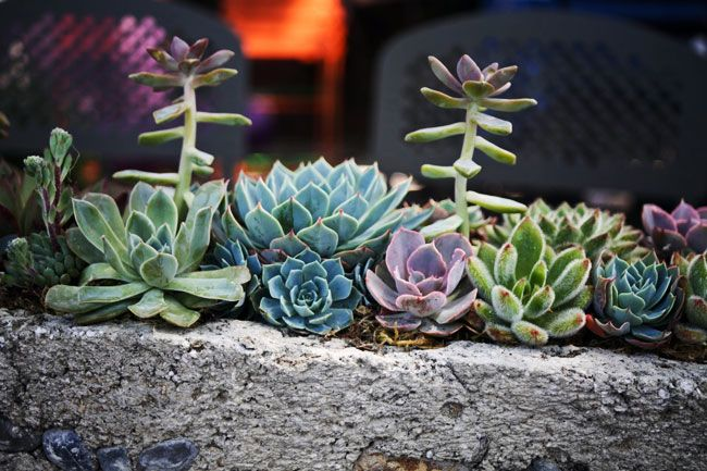 Succulents last a lot longer than cut flowers and make such an interesting display!