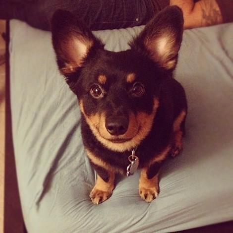 25+ Best Ideas about Corgi Pomeranian Mix on Pinterest ...