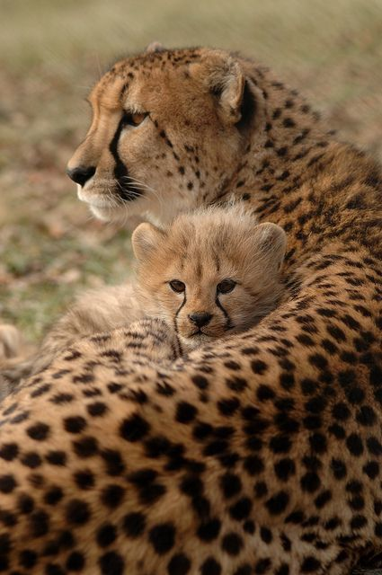 Cheetah Mom ~ With Her Cub. Mama love!