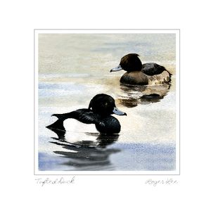 Tufted Ducks greetings card from a painting by Roger Lee
