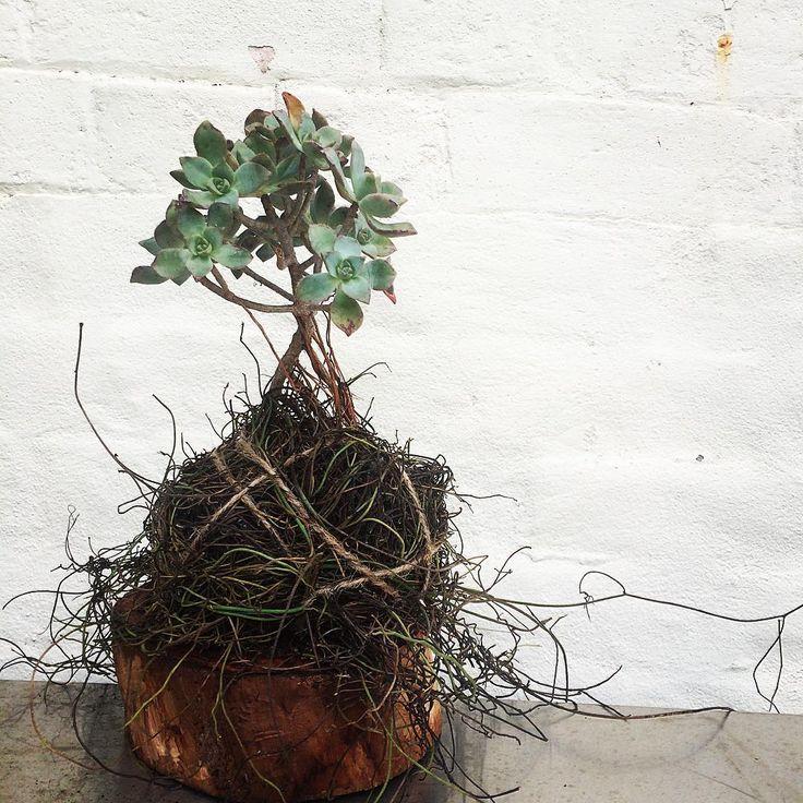 Bloodwood Botanica | Roots ➰  Succulent sculpture