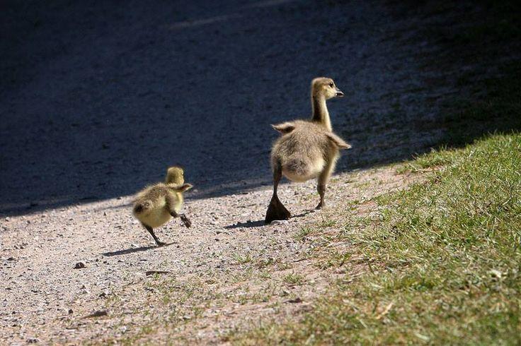 #salthaven #wildlife #release #rehabilitation #ducks