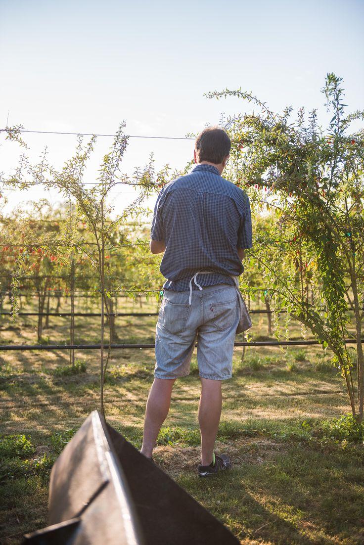Goji Berry Farmer Peter Breederland, at sunrise, at the Gojoy Farm, in the fields.