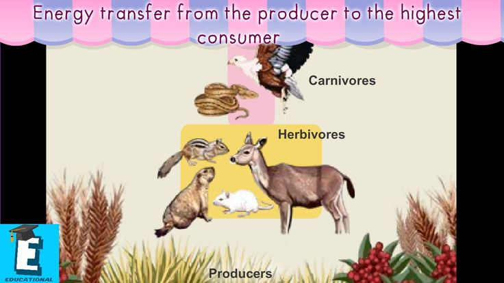 Energy transfer from the producer to the highest consumer by Educational...