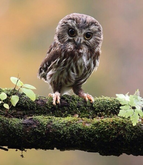 Cute baby owl animals pinterest cute baby owl for 2 little birds sat on my window