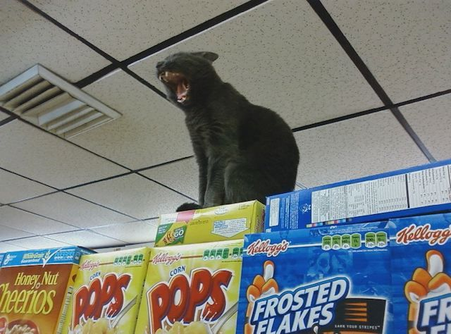 Gotta love NYC cats _  Photos: 21 Of Our Newest Favorite Bodega Cats: Gothamist
