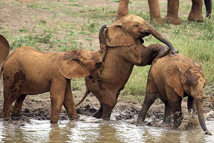 Mud games with young African Elephants