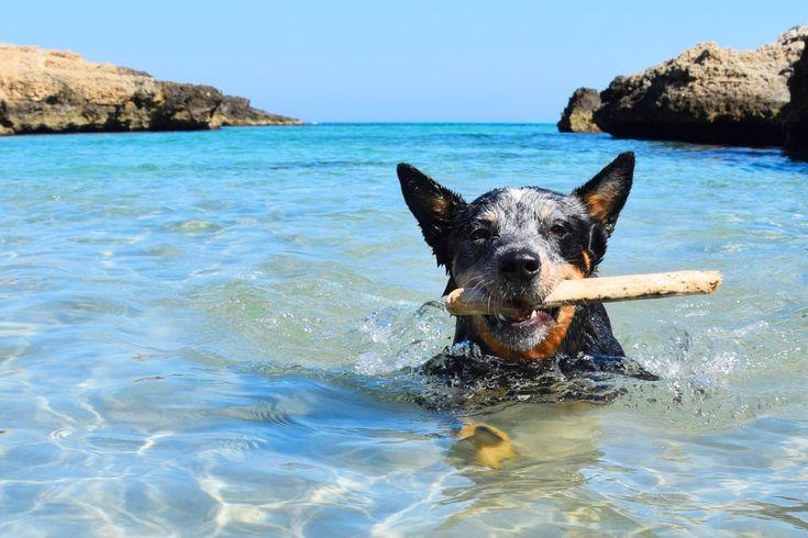australian cattle dog swims.JPG - null