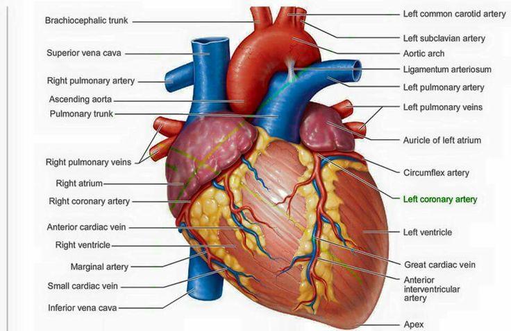 21 best anatomy images on Pinterest | Anatomie, Medizin und ...
