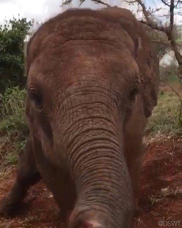 "David Sheldrick Wildlife Trust (@dswt) on Instagram: ""Enkesha's joie de vivre is infectious — Video © David Sheldrick Wildlife Trust   #DSWT #Enkesha #EnkeshaDSWT #elephants #whyilovekenya #kenya #nairobi #dswtnursery #africa #magicalkenya #savetheelephants #nairobinationalpark #saynotopoaching #racingextinction #jointheherd #DSWTat40 #worthmorealive"