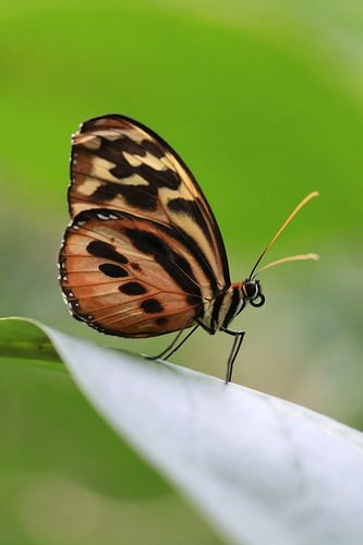 Golden Helicon Butterfly | Flickr - Photo Sharing!