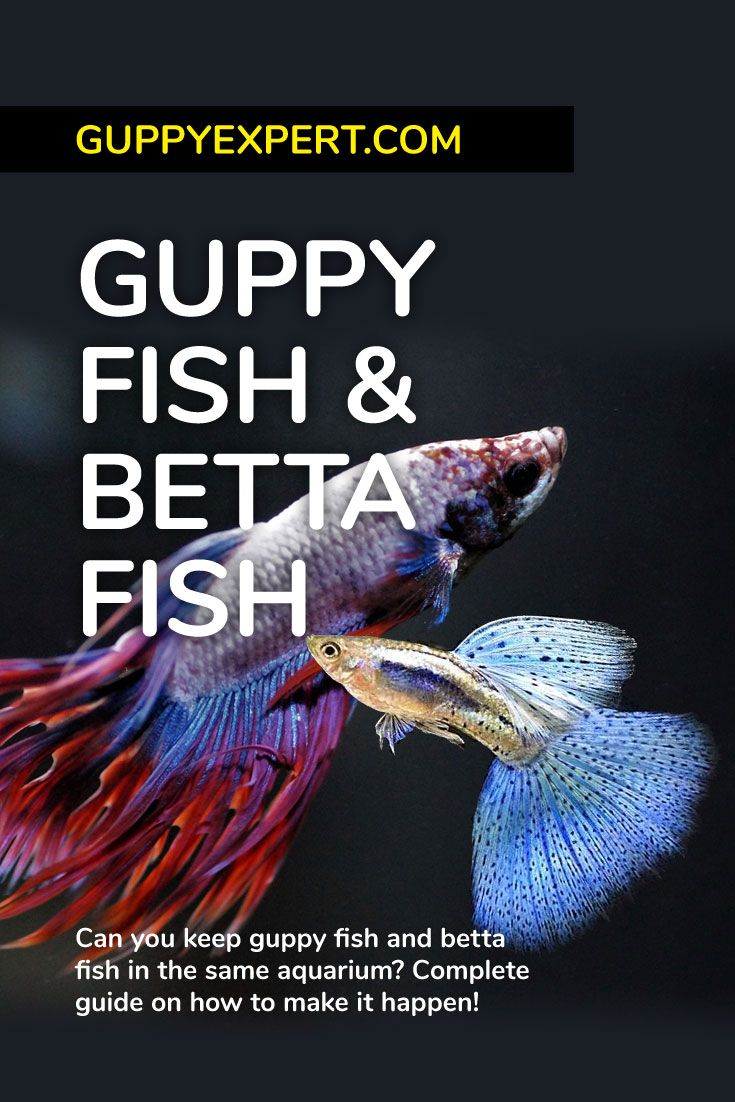 Guppy Fish And Betta Fish Can You Keep Them In Same Aquarium Guppy Fish Breeding Betta Fish Betta Fish