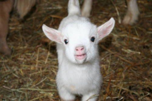 Les Chevreaux, adorables bébés chèvres ....