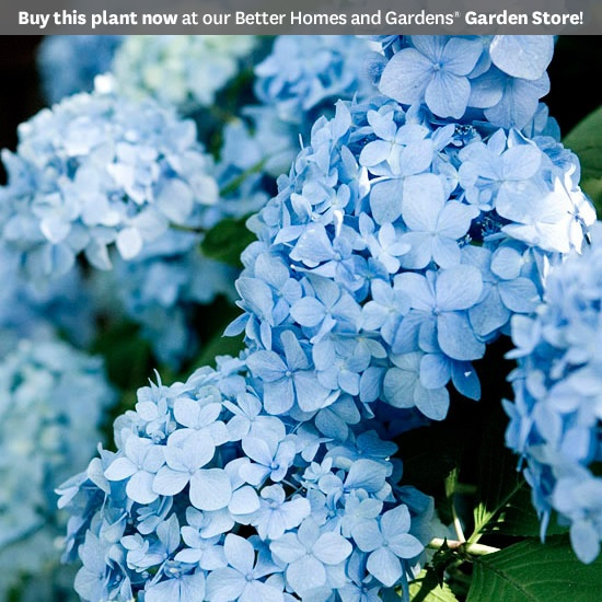 Blue Hydrangea macrophylla  A handful of mophead and lacecap hydrangeas have the ability to produce flowers on new growth. Because of this, they tend to rebloom throughout the summer and into fall. They're a good choice for gardeners in Northern regions because you don't need to worry about cold temperatures killing the flower buds during the winter.