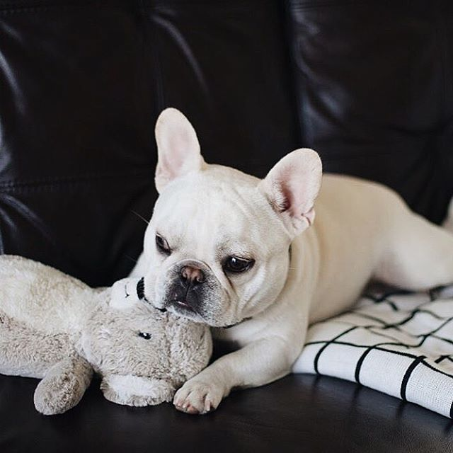 """""""I love you bear/pillow/spirit animal"""", Theo is very fond of his toy, French Bulldog, theobonaparte"""