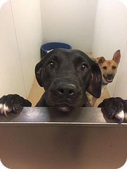 Chino Hills, CA - Labrador Retriever/Labrador Retriever Mix. Meet Sparkler - Chino Hills, a dog for adoption. http://www.adoptapet.com/pet/18473378-chino-hills-california-labrador-retriever-mix