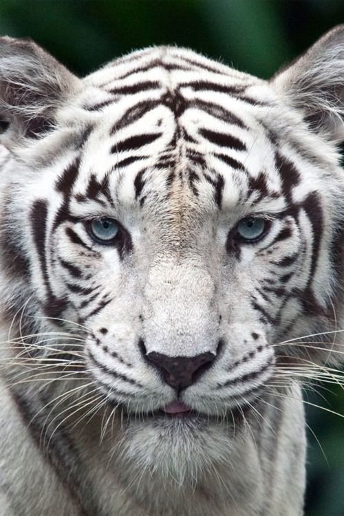 Wow, Beautiful!!!!Baby Blue, White Tigers, Big Cat, Snow Tigers, Tigers Tattoo, So Pretty, Blue Eye, Whitetigers, Animal