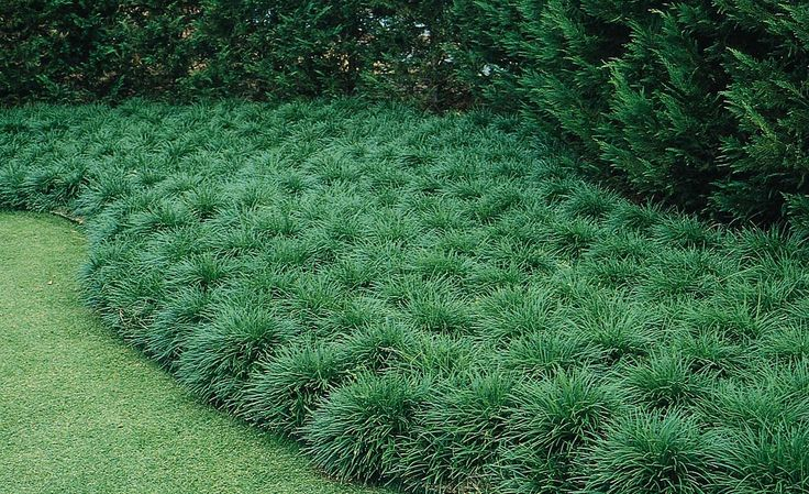 "Mondo Grass - Monrovia - Mondo Grass zones 6-11, 12""-15"" tall & wide, for border planting."