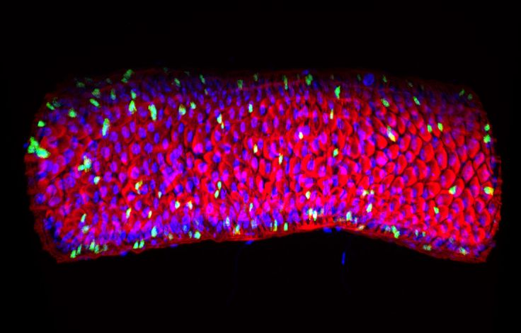 3D reconstruction of Drosophila melanogaster adult gut; in flies, it is similar to mammals in both structure and function. Here, intestinal stem cells (ISCs) and enteroblasts (EBs) are labelled with GFP in green. These cells are found in pairs because ISCs are dividing to generate one ISCs and one EB. The rest of the epithelium contains enteroendocrine cells and enterocytes. The gut is surrounded by F-actin rich muscles, stained in red. Nuclei in blue. Image by Dr Cecilia Huertas