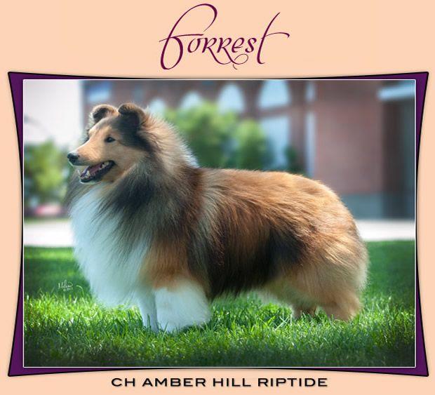 Ch. Amber Hill Riptide