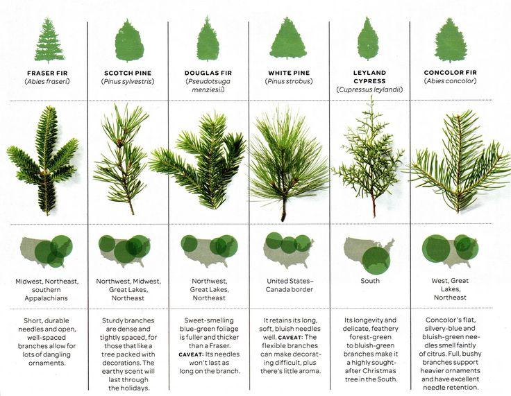 Wonderful Christmas Tree Species Guide Part - 9: Christmas Tree Identification