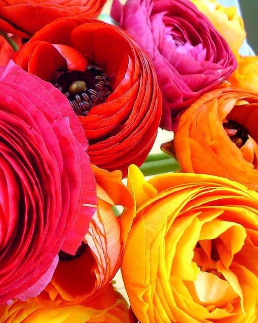 Glorious ranunculus colors
