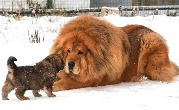 Tibetan Mastiff  .......Uploaded by www.1stand2ndTimeAround.etsy.com