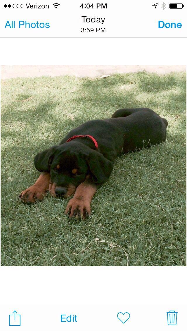 Koda Bear Dog