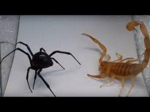 black widow vs scorpion who wins?