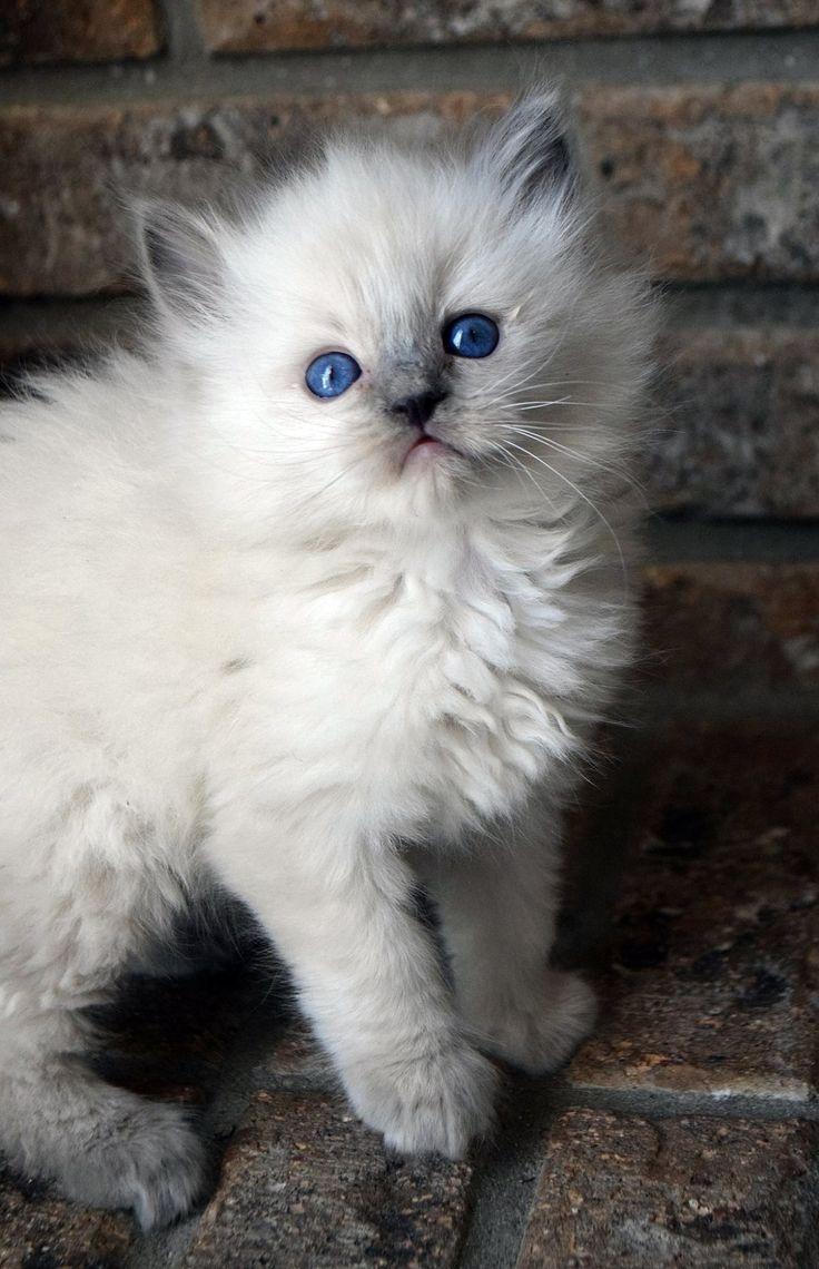 As Soft As A Rag Doll Kitty Soft Fluffy Cute Kitten Cat