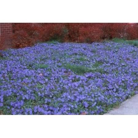 vinca periwinkle ground cover - Google Search