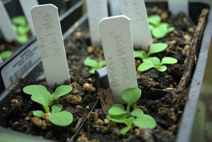 Выращиваем петунию из семян. Посадка рассады петунии. Как вырастить в домашних условиях. Фото - Ботаничка.ru