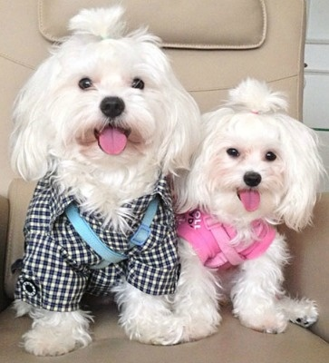 dogs cane dolci eleganti bianco