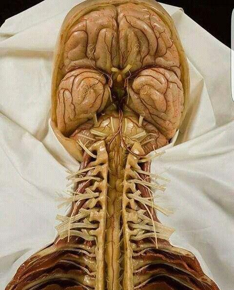 289 besten Anatomía Bilder auf Pinterest | Knochen, Mensch körper ...
