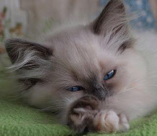 Tz Katz Ragdoll Cats and Kittens: 2011 Desk Calendar!!!