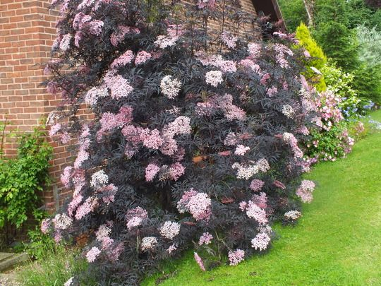 Sambucus Nigra 'Black Lace' (Sambucus nigra (Black Elder)) to grow up fence in courtyard. can be pruned to size.